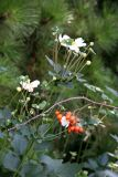 Japanese Anenomes & Glauca Rose Hips