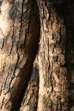 Crab Apple Tree Bark