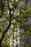 Sycamore Foliage & 1 Washington Sq Village