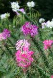 Cleome Flower Garden