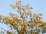 Locust Tree Foliage