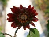 Maroon Sunflower in the Garden Path