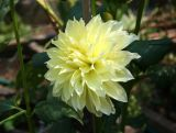Lemon Creme Dahlia