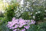 Garden View - Azalea, Viburnum, Kerria, etc.