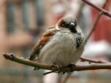 Sparrow in a Peach Tree on a Cold Day
