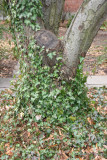 Ivy on a Crab Apple Tree in St Luke's Church Garden
