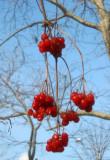 Unknown Berry Bush - Golden Swan Garden