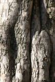 Crab Apple Tree Trunk