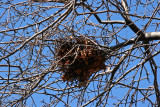 Squirrels Nest in a Crab Apple Tree