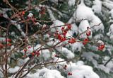 Rose Hips in Melting Snow