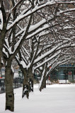Snow on Cherry Trees