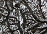 Melting Snow on a Beech Tree