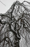 Snow on a Beech Tree