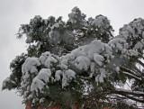 Juniper Tree at LaGuardia Place & West Houston