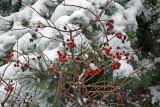 Garden View - Rose Hips in Snow