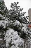Snow and Pine Tree