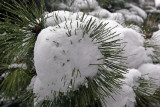 Snow and Pine