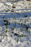 Tulip Sprouts in Snow