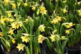 Farmers Market - Miniature Daffodils