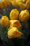 Farmers Market - Yellow Tulips