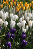 Farmers Market - Crocuses
