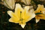 Flower Show - Lilies