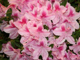Flower Show - Rhododendrons