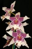 Flower Show - Orchids
