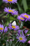 Young Cabbage Butterfy on an Aster Blossom