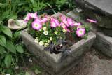 Planter Arrangement - Petunias, Potentilla & Batatas