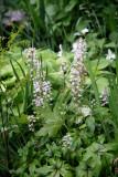 Tiarella or Foamflower