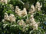 Chestnut Tree Blossoms