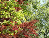 Beech and Sycamore Tree Foliage