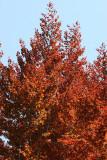 Beech Tree Foliage