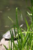 Sunning Turtle on the Lake Shore