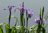 Iris by the Lakeshore