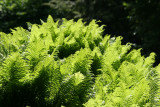 Ferns - Shakespeare Garden