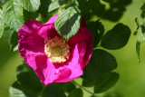 Rugosa Rose - Shakespeare Garden