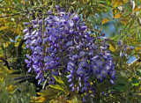 Wisteria at Belvedere Castle