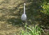 White Egret at Turtle Pond