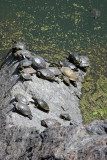 Sunning Turtles at Turtle Pond