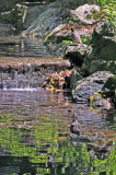 Robins Bathing near the Azalea Pond in the Rambles