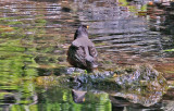 Robin Bathing near the Azalea Pond in the Rambles