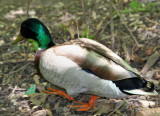 Duck near the Azalea Pond in the Rambles