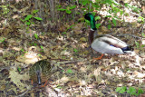 Ducks near the Azalea Pond in the Rambles