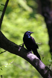 Grackle near the Azalea Pond in the Rambles