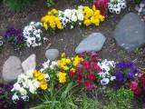 Pansy Garden Path