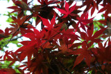 Red Leaf Maple Foliage