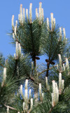 Long Needle Candelabra Pine