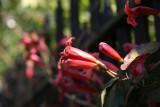 Trumpet Vine - Liz Christy Community Garden